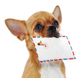 Red chihuahua dog with post envelope isolated on white backgroun Stock Photo