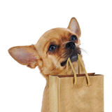 Red chihuahua dog with recycle paper bag isolated on white backg Stock Photography