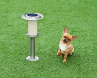 Red chihuahua dog siting on green grass. Royalty Free Stock Photo