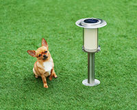 Red chihuahua dog siting on green grass. Royalty Free Stock Photography
