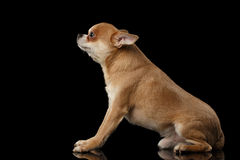 Red Chihuahua dog Sitting on Mirror, Looking up isolated Stock Photo