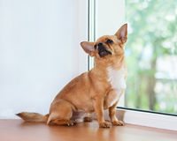 Red chihuahua dog sitting on window sill. Stock Images