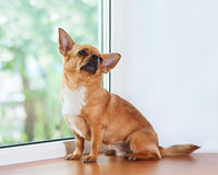 Red chihuahua dog sitting on window sill. Royalty Free Stock Photography