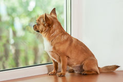 Red chihuahua dog sitting on window sill. Royalty Free Stock Images