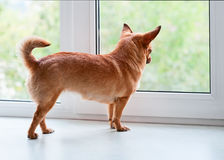Red chihuahua dog standing on window sill. Red chihuahua dog standing on window sill and looks into the distance Stock Photo