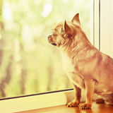 Red Chihuahua Dog Standing on Window Sill. Royalty Free Stock Photos
