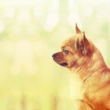Red Chihuahua Dog Standing on Window Sill. Royalty Free Stock Images
