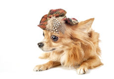 Red Chihuahua dog wearing tartan hat Stock Images