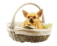 Red chihuahua dog in wicker basket. royalty free stock photos