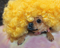 Red chihuahua dog in yellow wig. Stock Images