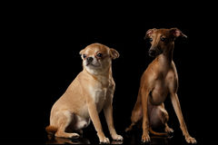 Red Chihuahua and Italian Greyhound Dogs Sitting isolated Black backgrond Stock Images