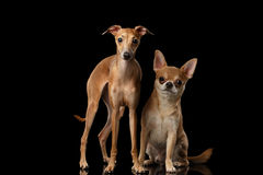 Red Chihuahua and Italian Greyhound Dogs Sitting isolated Black backgrond Royalty Free Stock Image
