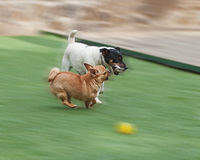 Red Chihuahua and Jack Russel Terrier dogs on green grass. Royalty Free Stock Images