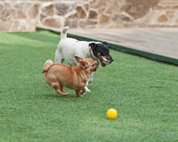 Red Chihuahua and Jack Russel Terrier dogs on green grass. Stock Photos