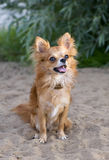 Red chihuahua sitting on the beach sand Royalty Free Stock Photos
