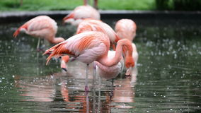 Red and Chilean flamingo stock video footage