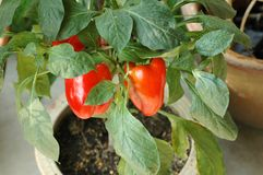 Red Chili Bell Pepper Plant Stock Image