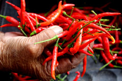 Red chili in old lady hand Stock Photography