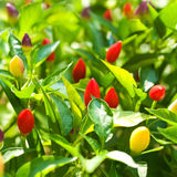 Red chili pepper. On the plant (selective focus Stock Photos