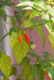 Red chili pepper in garden. Red Chili pepper in backyard garden stock photography