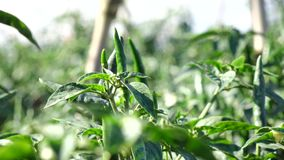 Red chili pepper in the garden, Da Lat city, Lam province, Vietnam stock footage