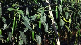 Red chili pepper in the garden, Da Lat city, Lam Dong province, Vietnam stock video footage