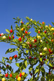 Red chili pepper plant against the blue sky Stock Image