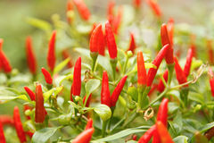 Red chili pepper plant. On green background Royalty Free Stock Images