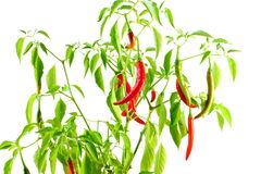 Red  chili pepper on plant in white background Royalty Free Stock Photos