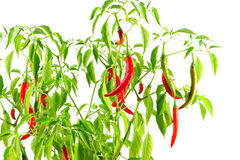 Red  chili pepper on plant in white background Royalty Free Stock Photography