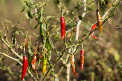Red chili pepper on tree in the bush Stock Image