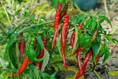 Red chili peppers on the branch. Virascivanie in the garden Stock Photography