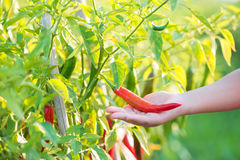 Red chili peppers on hand Royalty Free Stock Image