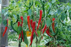 Red chili peppers on plant Stock Photo