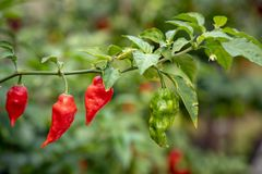 Chili peppers on the chili plant stock photography