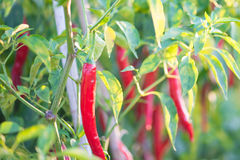 Red chili peppers on the tree in garden. Stock Image