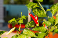Red chili peppers on a tree Stock Photography