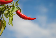 Red chili peppers with water drop. Sky background Stock Photos
