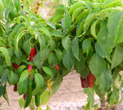Red chilies being grown in Hatch, New Mexico Royalty Free Stock Photos