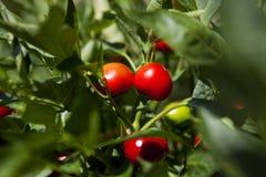 Red Chilli,chili. Red Chilli, chili, on the vine in Greece Stock Photography