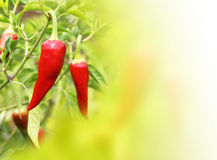Red chilli pepper on a green background Royalty Free Stock Photo
