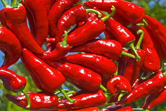 Red chilli peppers. On a mirror Stock Images