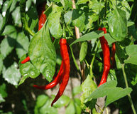Red Chilli Peppers on Plant stock photography