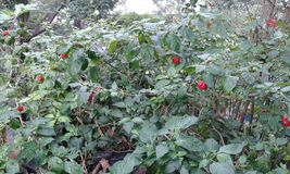 Red chillie plants. Chillies  pots  plants Royalty Free Stock Photo
