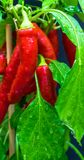Red chillies (Capsicum annuum) on the vegetable patch after a rain with drops of water on the green leaves.  stock image