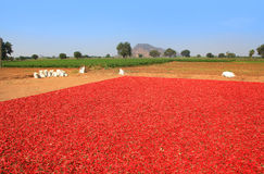 Red chillies at the farm Stock Image