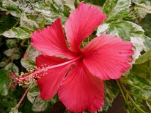 Red China Rose. China rose is also called shoeblackplant, Chinese hibiscus, Hawaiian hibiscus or rose mallow. Usually 5 petaled flowers with glossy leaves, these Royalty Free Stock Photos