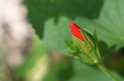 Red china rose bud close up image stock photos
