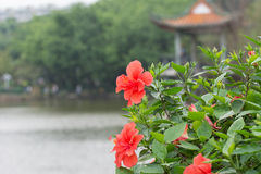 Red China Rose Flower Stock Image