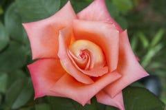 Free Red China Rose Rosa Chinensis Jacq Stock Image - 40065711